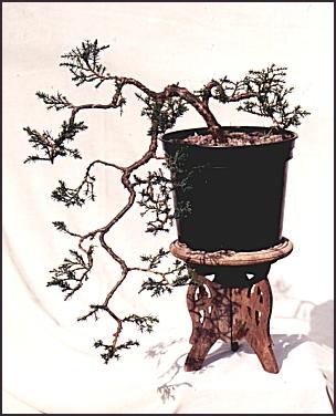 juniperbonsai.jpg